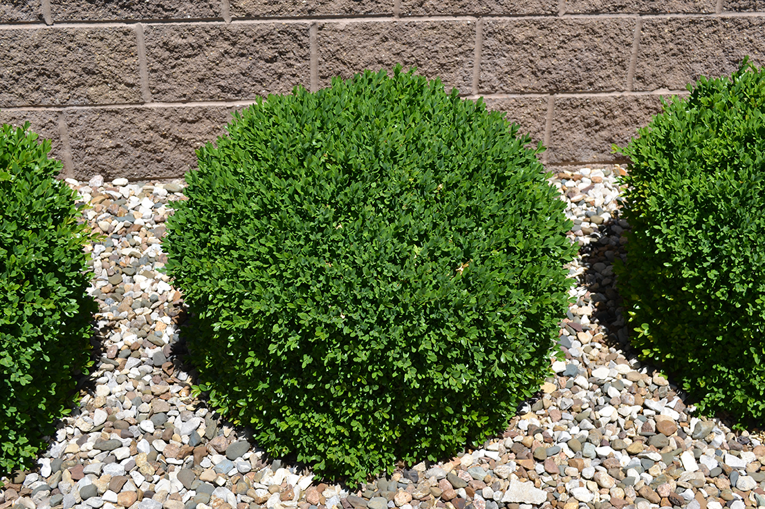 Green Velvet Boxwood Is A Low Maintenance Broadleaf