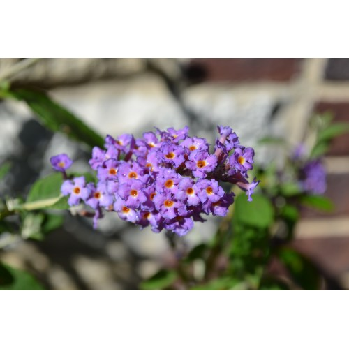 Medium Crop Of Dwarf Butterfly Bush