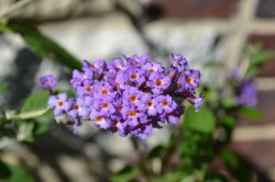 Small Of Dwarf Butterfly Bush