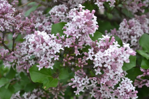 Medium Of Dwarf Korean Lilac Tree