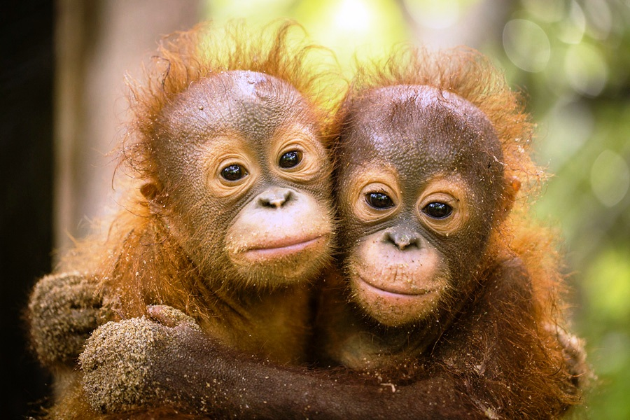 Cute Monkey Wallpaper Last Two Orangutans Are Released From Rasa Ria Resort In