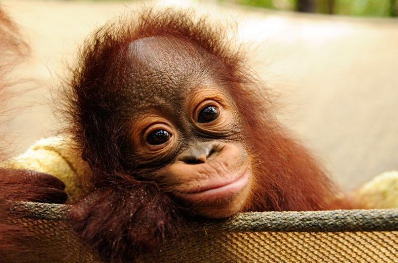 Cute Baby Cry Wallpaper A Baby Orangutan Is Born At A Wildlife Center In Sarawak