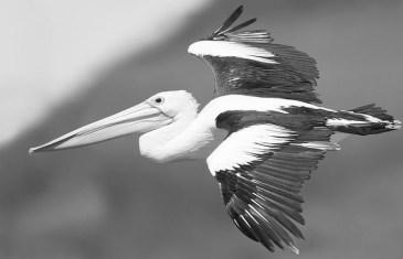 #GCSpodlet – The Terrorist Pelican