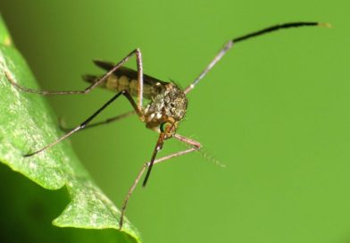 What do Michael Phelps and a Mosquito Have in Common?