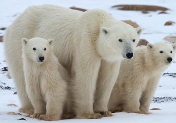 polar_bear_family_2