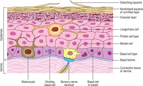 Keratinocytes Their Purpose, Their Subtypes and Their Lifecycle - Keratinocytes