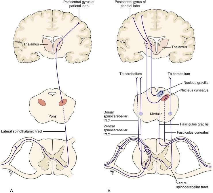 The Nervous System Clinical Gate - spinothalamic tract