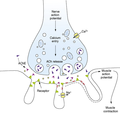 Diseases of the Neuromuscular Junction Clinical Gate - neuromuscular junction
