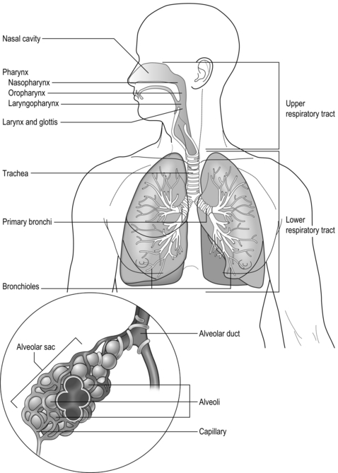 Anatomy and physiology of the respiratory system Clinical Gate