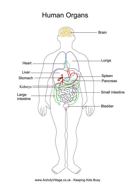 human body vessel diagram