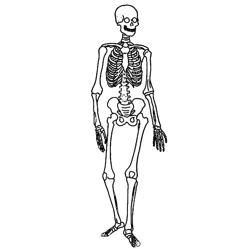 human skeleton label diagram