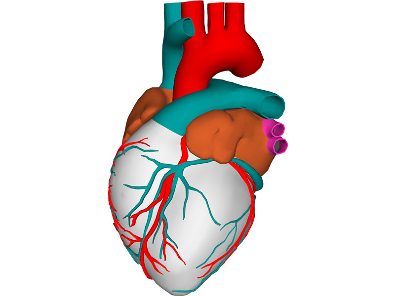 Heart with Internal Parts 3D Model Download 3D CAD Browser - Clip