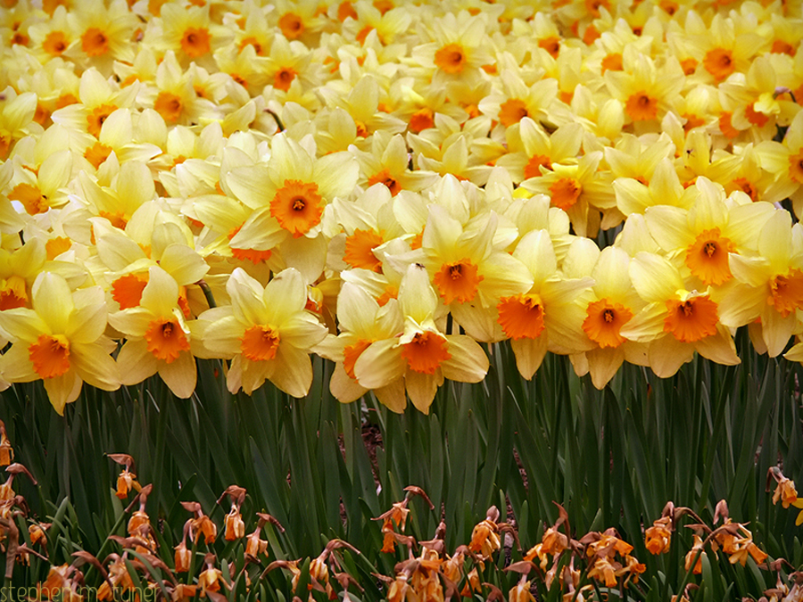 Daffodils Wallpaper Hd Free Daffodil Download Free Clip Art Free Clip Art On