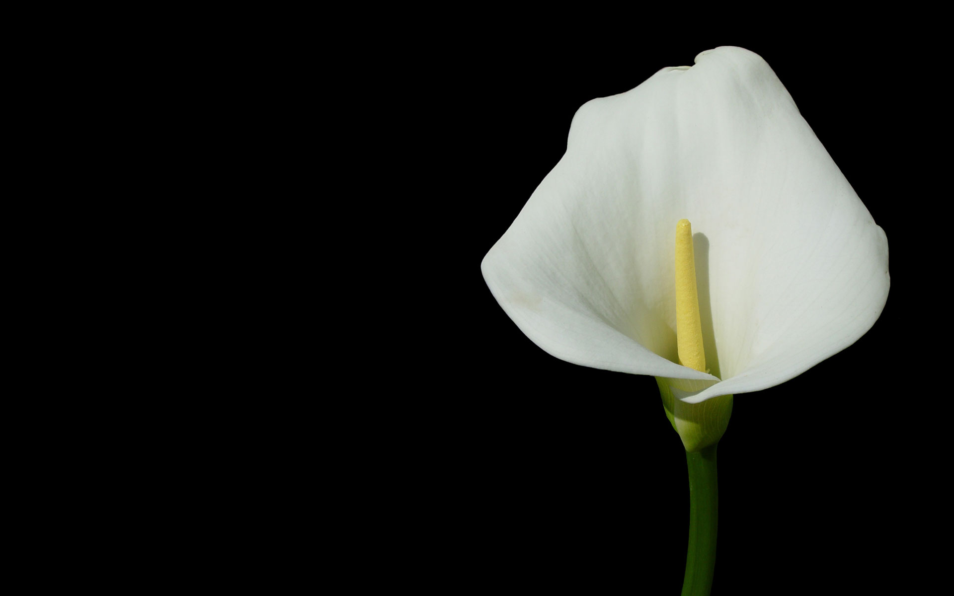 Blume Calla Calla Lily Images Pictures Bloguez Clip Art Library