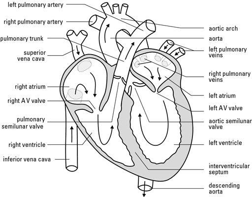 heart diagram worksheet