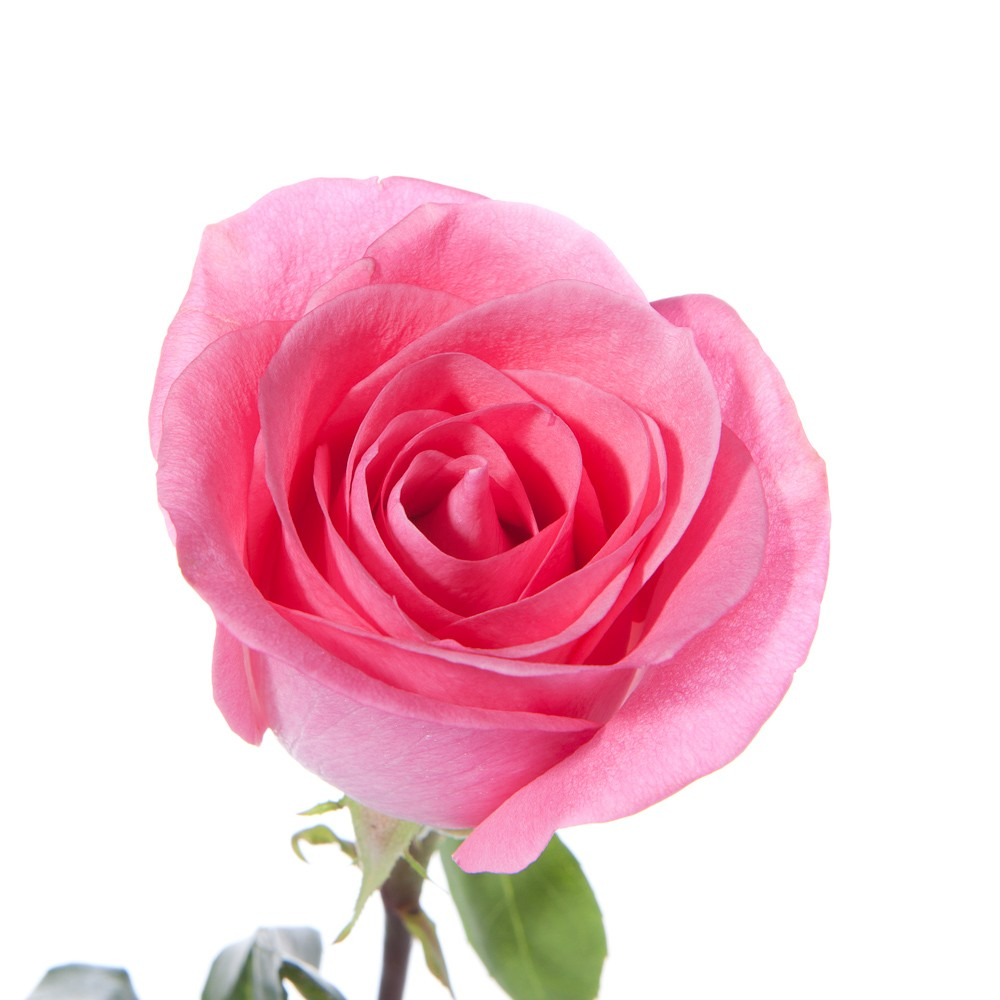 Rose Flower Wallpaper Hd Free Download Single Pink Rose Cliparts Co
