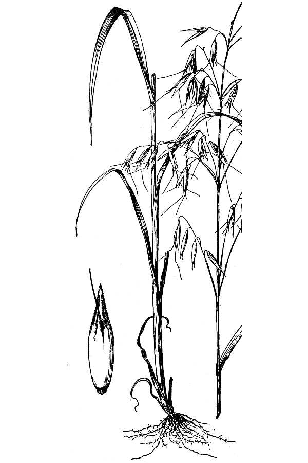 oat plant diagram
