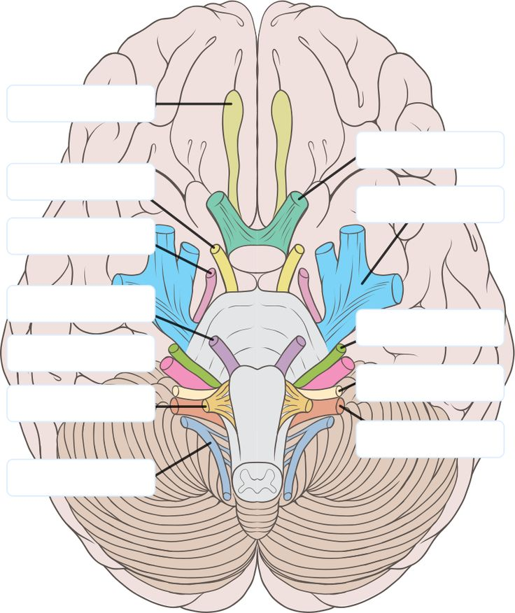 Cranial nerves clipart - Clipground