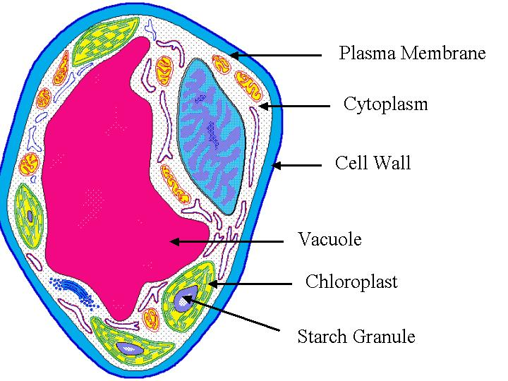 free clipart of an animal cell membrane - Clipground