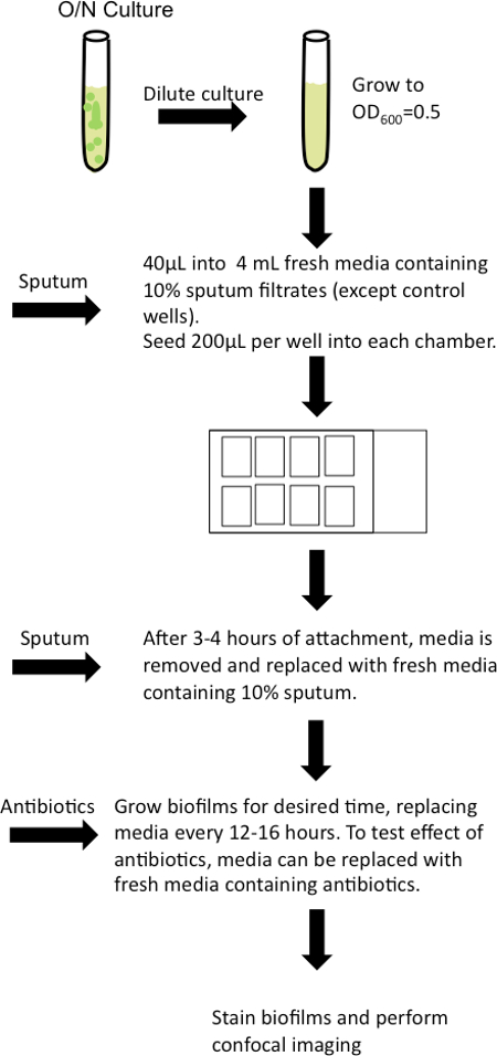 Visualizing the Effects of Sputum on Biofilm Development Using a
