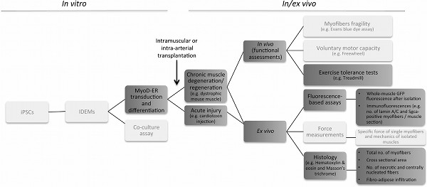 Transplantation of Induced Pluripotent Stem Cell-derived