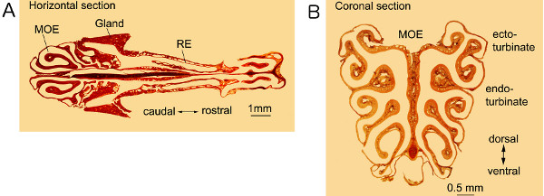An Effective Manual Deboning Method To Prepare Intact Mouse Nasal