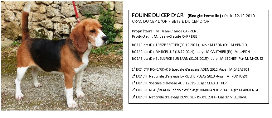 Jeu Pour Chat Tablette Beagle Harrier Et Beagle Difference