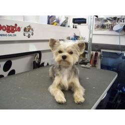 Small Crop Of Yorkie Maltese Mix