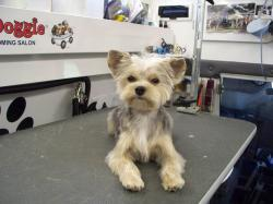 Small Of Yorkie Maltese Mix