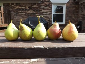 The pears that sparked controversy around the world.....