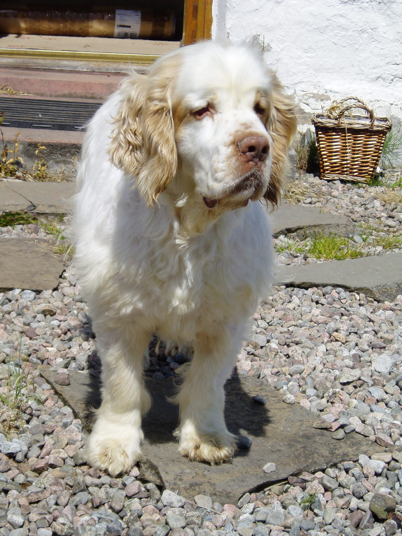 Clumber Spaniel Rescue And Rehome Clumber Spaniel Club