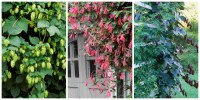 10 Fast Growing Flowering Vines