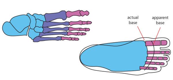 Human Anatomy Fundamentals How to Draw Feet