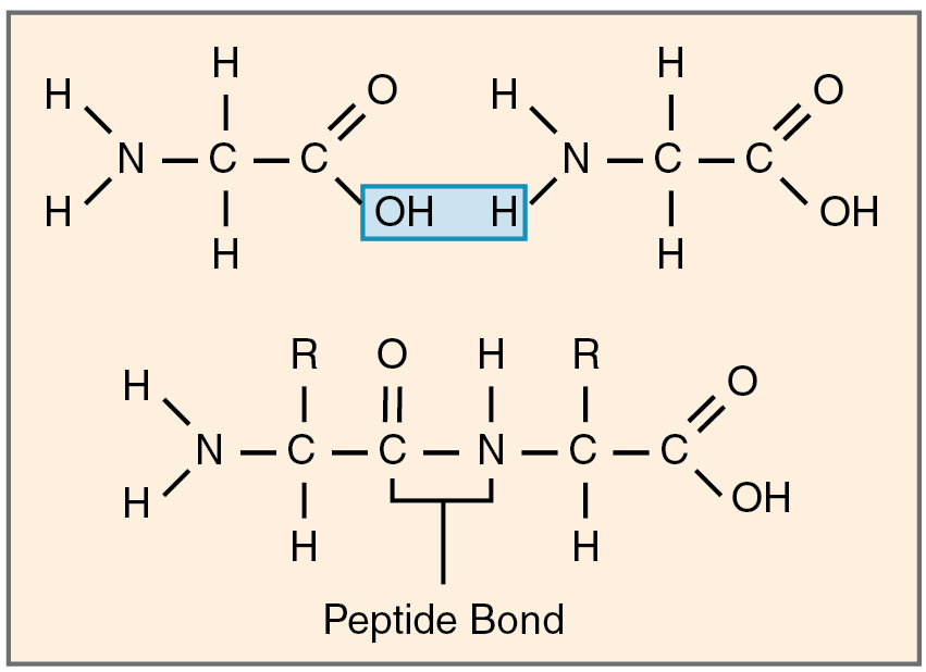 This is a polypeptide, the polymer of a protein It is made when - resume examples basic