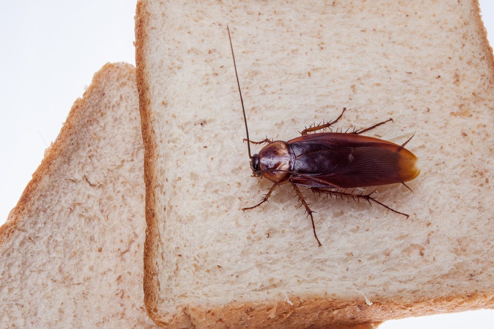 34 Amazing Cockroach Facts (Secrets) You Want to Hear - PestWiki