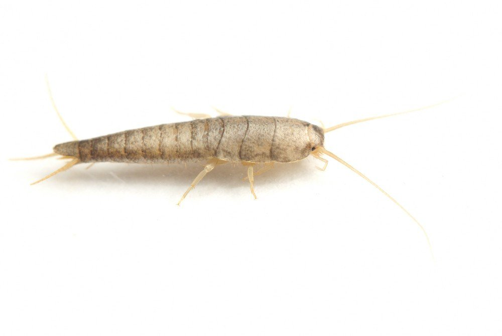 Insecte Humidité Salle De Bain Do Silverfish Bite Humans? What Are The Damages They Cause