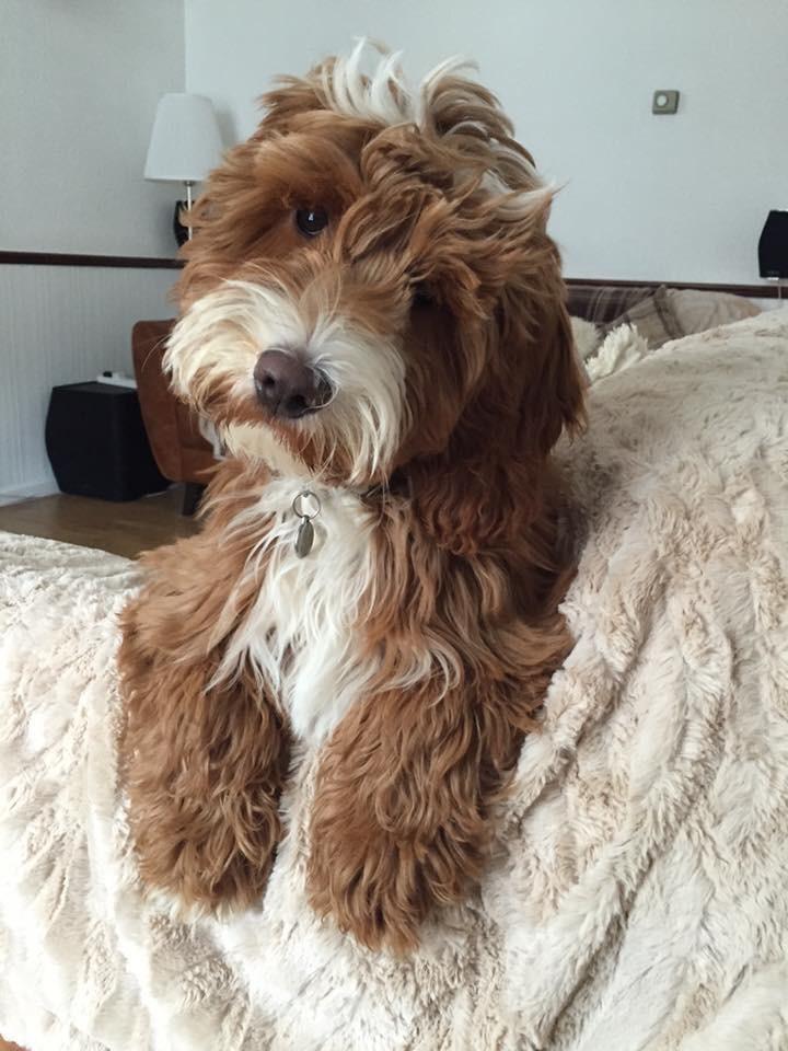 cockapoo puppies sale