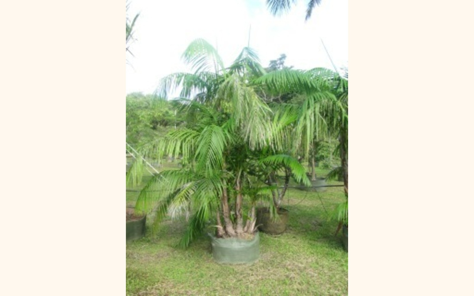 Dypsis Lutescens Wikipedia Cocobolo Tree Farm Multiplex Bamboo Palm Butterfly