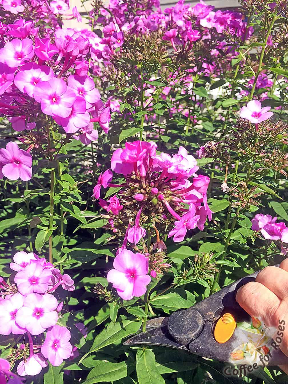 Fullsize Of How To Deadhead Roses