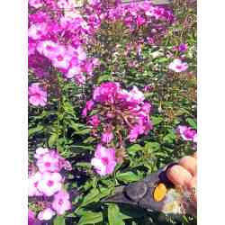 Small Crop Of How To Deadhead Roses