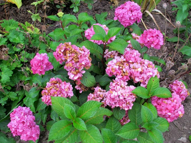 Hydrangea Didn't Flower This Year Mow Your Leaves And Pamper Your Plants
