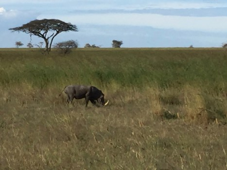 warthog in serengeti