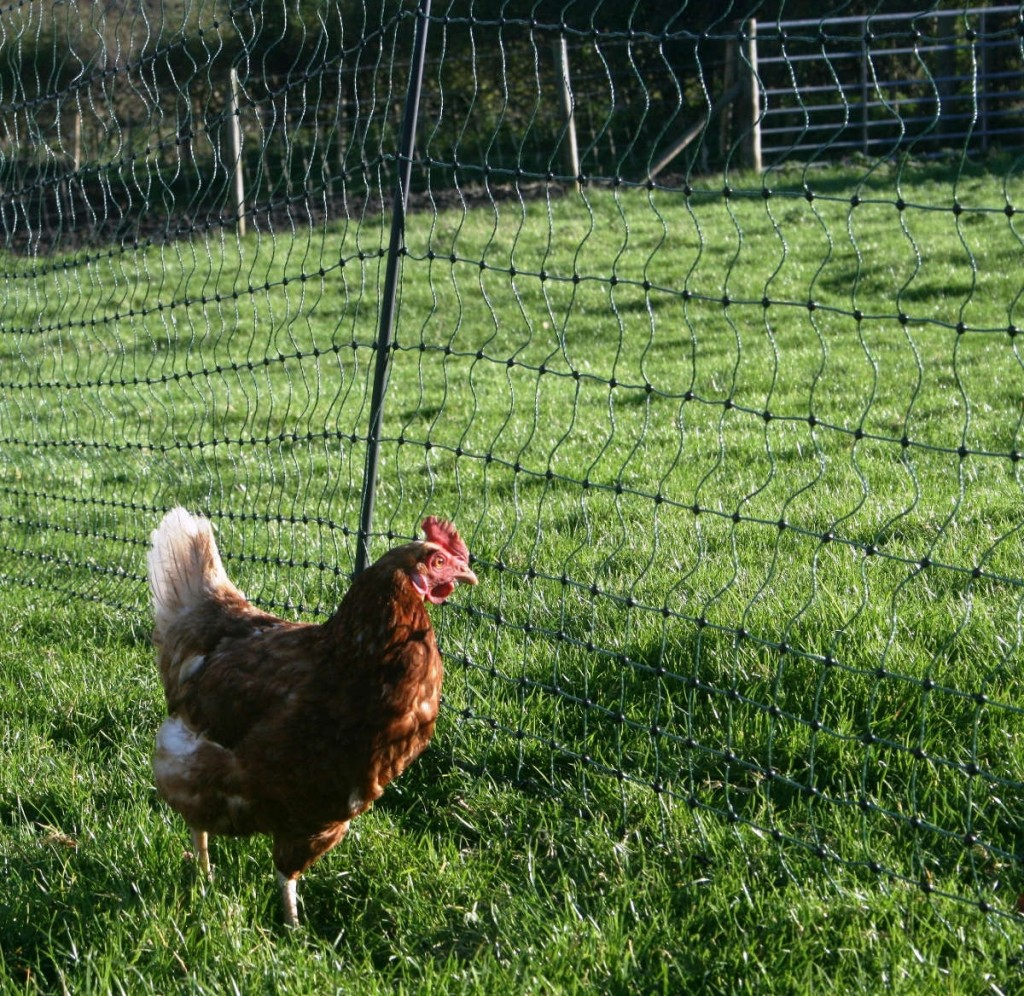 electric_fence_chicken