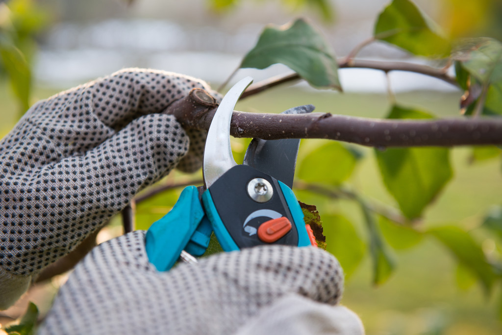 Pruning and trimming tree with shears