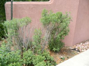 Russian sage pruned to new growth
