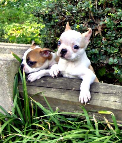 Image For Boston Terrier Health Colorful Bostons