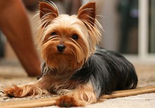 Pourquoi et comment choisir un chien hypoallergène