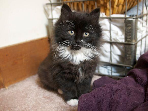 Leopold Truesdale Kitten