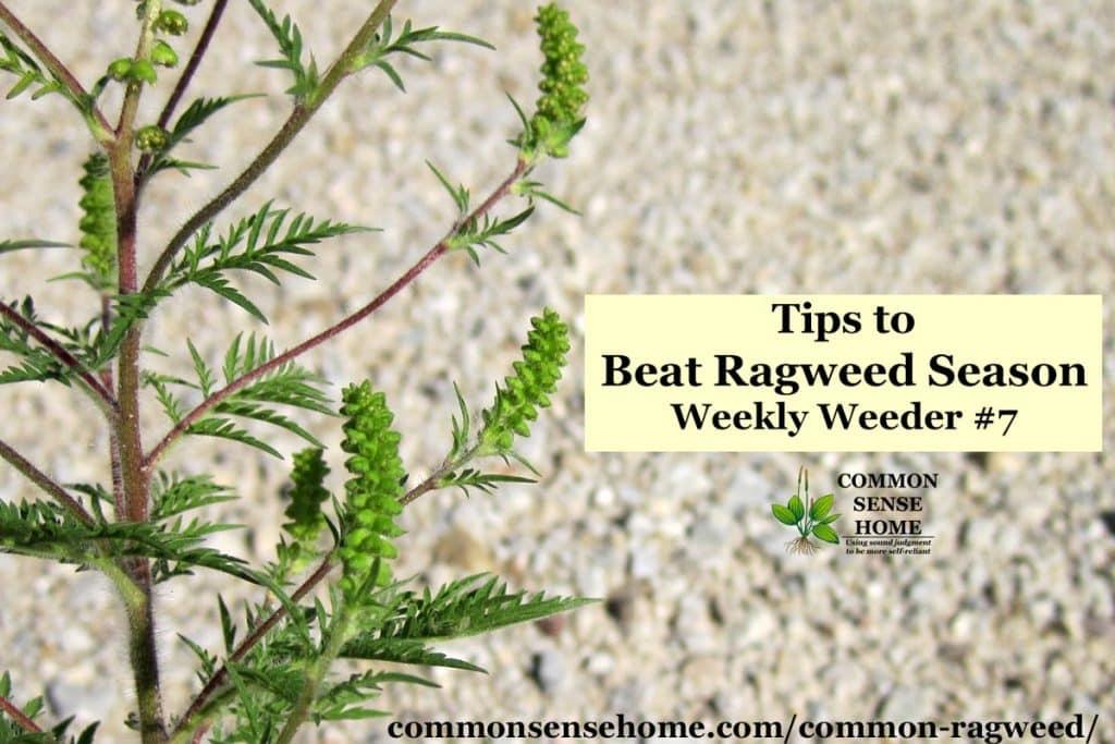Common Ragweed - Tips to Beat Ragweed Season - Weekly Weeder #7