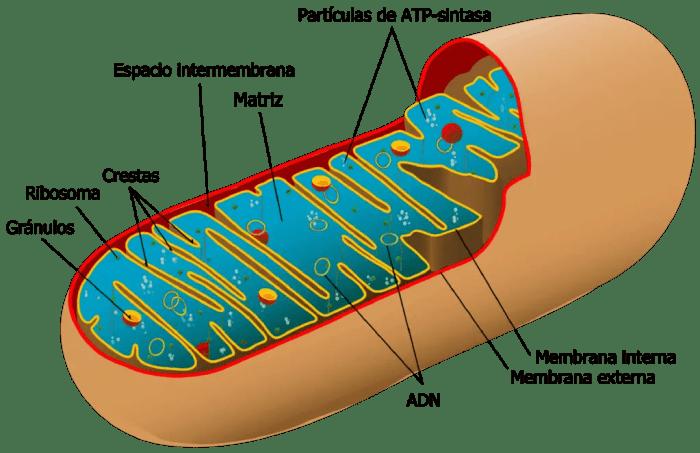 Descripcion de la estructura interna de una mitocondria